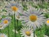 daisys-1024x576